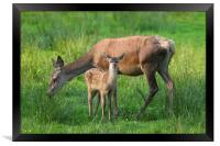 Red Deer Hind with Fawn, Framed Print