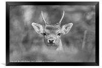 Young Buck , Framed Print