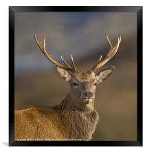 Highland Red deer Stag portrait, Framed Print