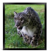 Prowling Snow Leopard, Framed Print