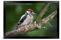 Juvenille Great Spotted Woodpecker, Framed Print