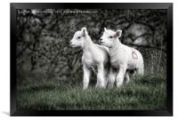 Pair of new born lambs, Framed Print