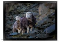 Herdwick Sheep At Honister Pass, Framed Print