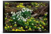 Snowdrops and Aconites, Framed Print