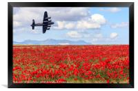 Lancaster bomber passing over a field of poppies, Framed Print