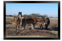 New Forest Ponies, Framed Print
