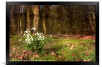 Snowdrops in  Woodland, Framed Print