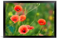 Red Poppies , Framed Print