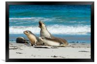Australian Sea Lions at Seal Bay, Kangaroo Island., Framed Print
