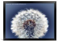 Close up of a Dandelion head No. 2, Framed Print
