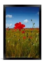 Poppies in the summer sunshine. No. 2, Framed Print