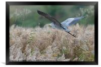 Heron flying in an Autumnal Kentish Countryside, Framed Print