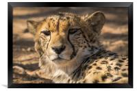 Curious look from this Cheetah Solitaire Namibia , Framed Print