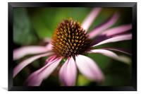 Coneflower Head Close Up , Framed Print