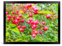 A pop of red red berries, Framed Print