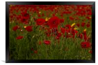 Red poppies of West Pentire  Cornwall, Framed Print
