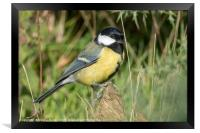 Portrait of a Great Tit, Framed Print