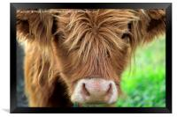 Close up of Young Highland Bull, Framed Print