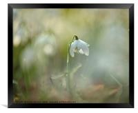 Isolated snowdrop, Framed Print