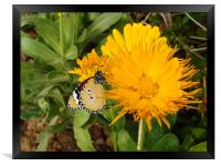 Butterfly on a yellow flower.... , Framed Print