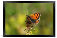 Small Copper Butterfly , Framed Print
