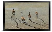 Canada Geese, Framed Print