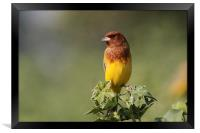Red-headed Bunting, Framed Print