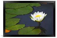 Waterlily , Framed Print