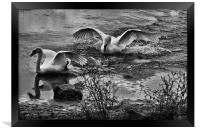 Swans Playing, Framed Print