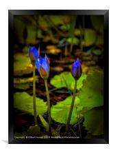 Water lilies in India, Framed Print