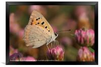 The Small Copper, Framed Print