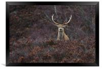 Stag in the Heather, Framed Print