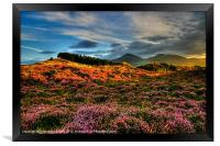 Blooming heather in the Mournes, Framed Print