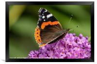 Red Admiral, Framed Print