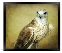 The Saker Falcon Stare, Framed Print