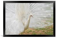 White Peacock, Framed Print