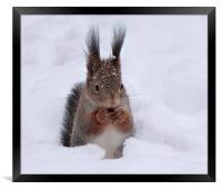 Squirell in snow, Framed Print