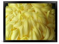 Yellow Chrysanthemum, Framed Print