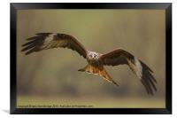 Head on view of red kite in the rain, Framed Print