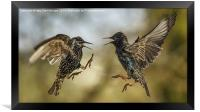 Mid air starling squabble, Framed Print