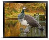 Peahen in Autumn, Framed Print