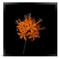 golden orchid, Framed Print