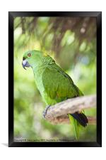 Yellow-naped Parrot, Framed Print