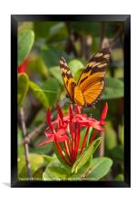 butterfly on red rubiaceae, Framed Print