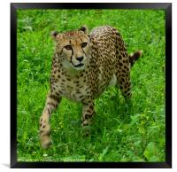 On the prowl, Framed Print