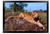 Lion Resting on Rock, Framed Print