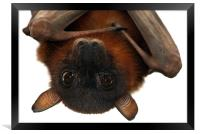 Little Red Flying Fox Hanging Out, Framed Print