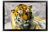 Sumatran Tiger in Snow, Framed Print