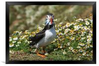 Atlantic Puffin, Framed Print