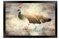 Peahen takes a Stroll, Framed Print